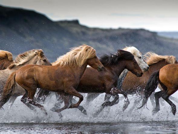 horses-hop-river-iceland_63386_990x742