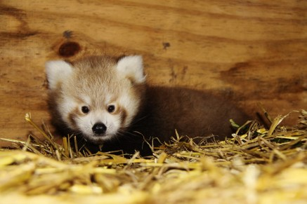 Red-Panda-Baby-at-Longleat-four-PIC-Ian-Turner-1900x1267
