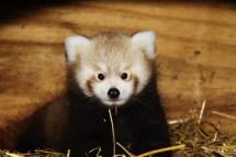 Red-Panda-Baby-at-Longleat-PIC-Ian-Turner