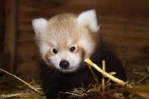 Red-Panda-Baby-at-Longleat-two-PIC-Ian-Turner