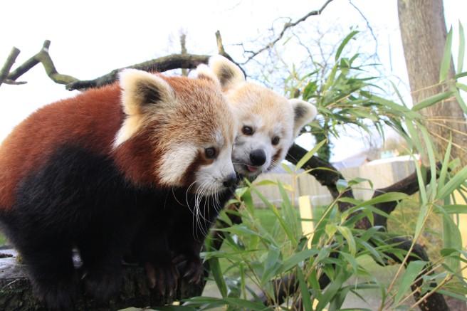 Red-panda-mum-and-dad-at-Longleat-PIC-Ian-Turner