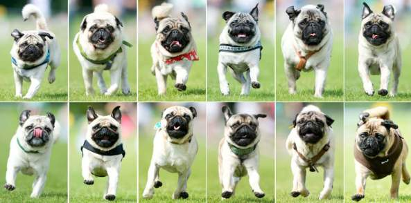 A combo of pictures taken on September 7, 2014 shows pugs competing during the 50m pug dog race in Wernau, southern Germany, on September 7, 2014. 160 animals took part in the third pug dog and bulldog race. AFP PHOTO / DPA/ SEBASTIAN KAHNERT GERMANY OUTSebastian Kahnert/AFP/Getty Images ORIG FILE ID: 533121326