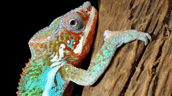 chameleons-change-color-to-stand-out-not-blend-in_kqed-pbs-6