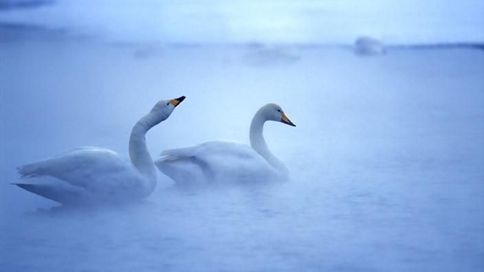 beautiful-swans-in-morning-fog-329070