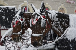 Vienna, Austria. Snow covered Fiaker horses at St. Stephen's square. On 1/17/2013, 30+ centimeters of snow fell in Vienna, slowing down many aspects of public life.