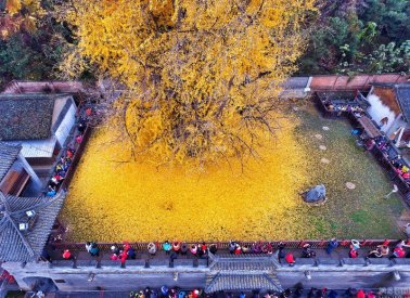 ancient-ginkgo-rains-gold-at-a-buddhist-temple-in-china-3