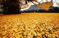 ancient-ginkgo-rains-gold-at-a-buddhist-temple-in-china-4