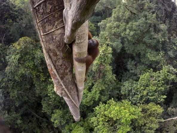 955159_rx_17®_Tim_Laman_-_Tough_Times_for_Orangutans_02.jpg