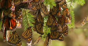 1200x630_317962_monarch-butterflies-make-annua