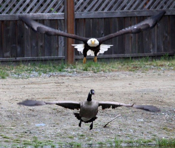 bald-eagle-vs-canada-goose-by-lisa-bell-5
