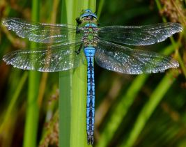dragonfly-images-9