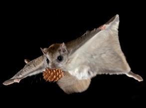 flying-squirrel-3