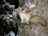flying-squirrel-6