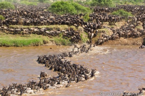 Wildebeest Migration Curve