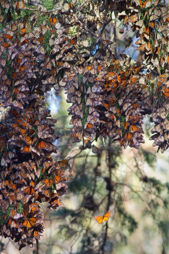 Monarchs Butterflies