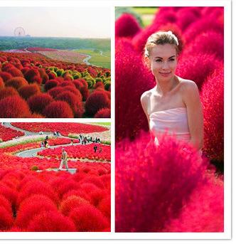 Heirloom-200-Seeds-bag-Grass-Burning-Bush-Kochia-Scoparia-RED-Garden-Seeds-Exotic-Easy-to-Grow