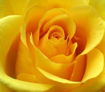 yellow-rose-picture250151708_std.21213024