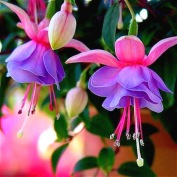 venta-caliente-100-unids-bolsa-fucsia-bons-is-linterna-flor-begonia-plantas-de-interior-planta-de.jpg_640x640