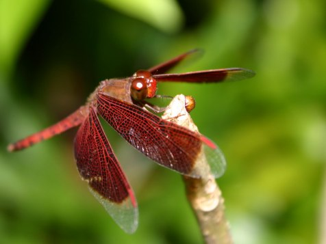 dragonfly_wallpapers