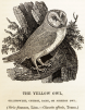 250px-Bewick_Thomas_Barn_Owl_Tyto_alba